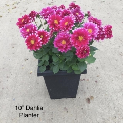 Rental store for 10 IN Sq Planter Dahlia in Toronto Ontario